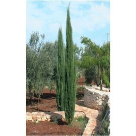 10 graines de cypr s de provence cypr s d 39 italie pas cher. Black Bedroom Furniture Sets. Home Design Ideas
