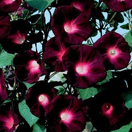 Petite annonce 10 Graines / Seeds Ipomoea - Kniolas Morning Glory 'black Knight' - Ipomée Noire - Facile ! - 34000 MONTPELLIER