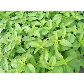 Petite annonce 100 Graines / Seeds Basilic Citron - Extra Aromatique ! - 34000 MONTPELLIER