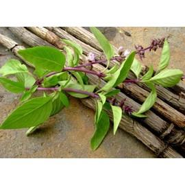 Petite annonce 100 Graines / Seeds Basilic Réglisse - Extra Aromatique ! Rare - 34000 MONTPELLIER