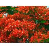 25 Graines De Flamboyant Rouge ( Delonix Regia )