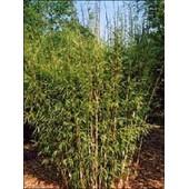 15 Graines De Bambous Farg�sia Yunnanensis - Non Tra�ant
