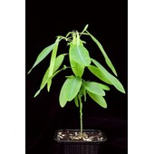 15 Graines De Plante Qui Danse - Codariocalyx Motorius - Desmodium Gyrans - Plante T�l�graphe - Sensitive - Tres Rare !!!