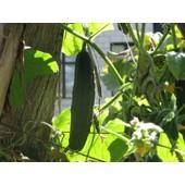 25 Graines � Semer - Concombre Long Anglais - Go�t Doux