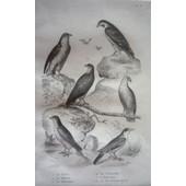 Gravure D'oiseaux De Buffon. Planche 6 : Le Sacre, Le Faucon, Le Hobereau, La Cr�cerelle, L'emerillon, La Pie-Gri�che Grise de Buffon Georges-Louis Leclerc de