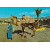 Agadir : Chameau Et M�hariste - 1980