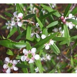 Huile Essentielle Tea Tree Citronn� (Ou Leptosepterme Citronn�) 10ml