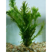 Plante Aquarium Oxygenante Elodee Egeria Densa Taille 10 Cm 7/8tiges Sans Co2