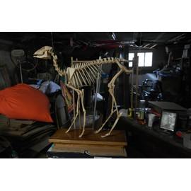 Squelette de chevreuil monté