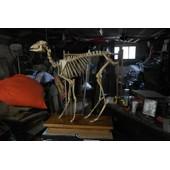 Squelette De Chevreuil Mont�