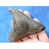 Fossile Dent Requin M�galodon 9 Cm 98 Grammes.