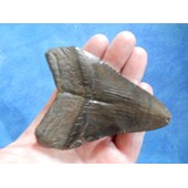 Fossile Dent Requin M�galodon 77 Grammes 9 Cm.