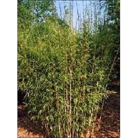 Petite annonce 15 Graines De Bambous Fargésia Yunnanensis - Non Traçant - 34000 MONTPELLIER
