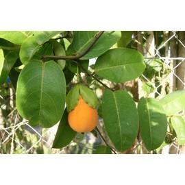 15 graines de passiflore laurifolia fruit de la passion pomme liane. Black Bedroom Furniture Sets. Home Design Ideas