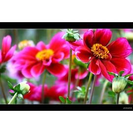 """25 graines de fleur : dahlia nain """"mignon"""" simple varié pas cher"""