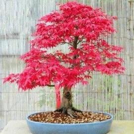 arbre japonais pas cher ou d\'occasion sur PriceMinister - Rakuten