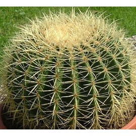 30 seeds graines fra ches de echinocactus grusonii coussin de belle m re cactus. Black Bedroom Furniture Sets. Home Design Ideas