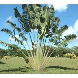 Petite annonce 5 Graines De L'arbre Du Voyageur - Ravenala Madagascariensis - Madagascar - 34000 MONTPELLIER
