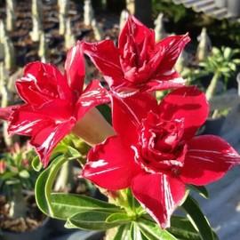 """Petite annonce 6 Graines / Seeds Fraiches D'adenium Obesum """"Ginnaree """" Rose Du Désert Caudex Succulente - 34000 MONTPELLIER"""