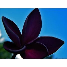Petite annonce 6 Graines / Seeds Plumeria 'black Window' - Frangipanier - Rare - 34000 MONTPELLIER