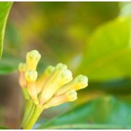 Huile Essentielle H.E.B.B.D. De Clous De Girofle (Eugenia Caryophyllus)