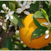 Livraison Gratuite : Huile Essentielle H.E.B.B.D. D' Orange Douce D' Italie