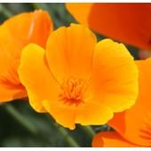 25 Graines De Fleurs Eschscholtzia - Pavot Californien