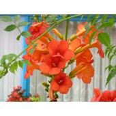 25 Graines De Bignone Orange - Campsis Radicans