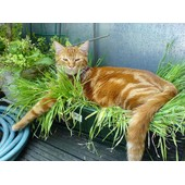 Mille Graines - Herbe � Chat - Facilite Son Transit !!!