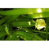 10 Graines - Courgette Verte Des Maraichers Non Coureuse - Curcurbita Pepo