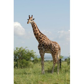 Tirage original photo d 39 une girafe neuf et d 39 occasion for Prix d une girafe a poncer