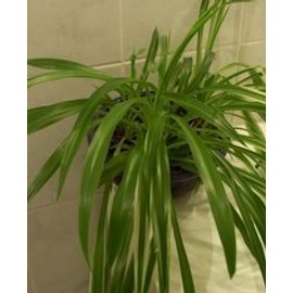 chlorophytum plante verte depolluante ou palnte araign e. Black Bedroom Furniture Sets. Home Design Ideas