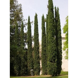 cypres totem cupressus sempervirens stricta 30 40 cm pas. Black Bedroom Furniture Sets. Home Design Ideas