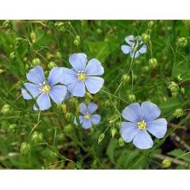 fleurs vivaces 150 graines a semer de lin vivace bleu linum perenne. Black Bedroom Furniture Sets. Home Design Ideas