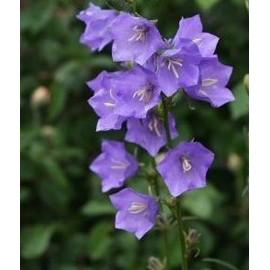 Graines de campanule feuilles de p cher bleue - Campanule a feuilles de pecher ...