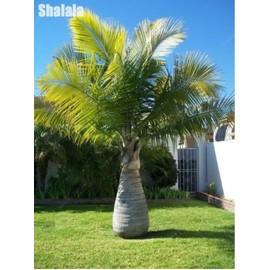 palmier geant