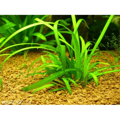 sagittaria subulata plante d 39 aquarium pas cher. Black Bedroom Furniture Sets. Home Design Ideas