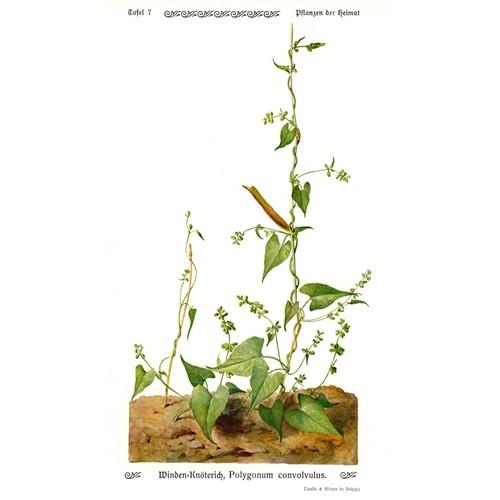 Superbe lithographie botanique 1913 liseron polygonum convolvulus renou e liseron - Comment eradiquer le liseron ...