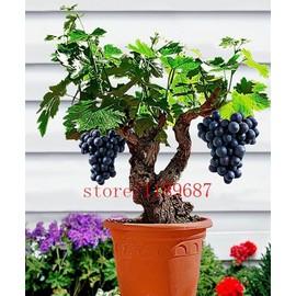 Vip2store® 50 Graines Raisin Noir Plante D\'intérieur Bonsaï pas cher