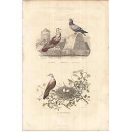 Xix�me/Gravure En Couleurs/Buffon-Pigeons(Le Mondain-Le Cravat�) - La Tourterelle